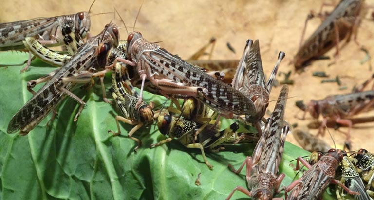 Locusts could return to the Bahrain this week